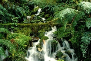 South Island Rain Forest. Photo courtesy of gorentals.com on Google Images.