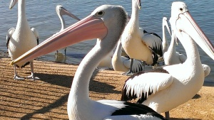 Pelicans eagerly await the cast offs as the fisherment gut the catch of the day.